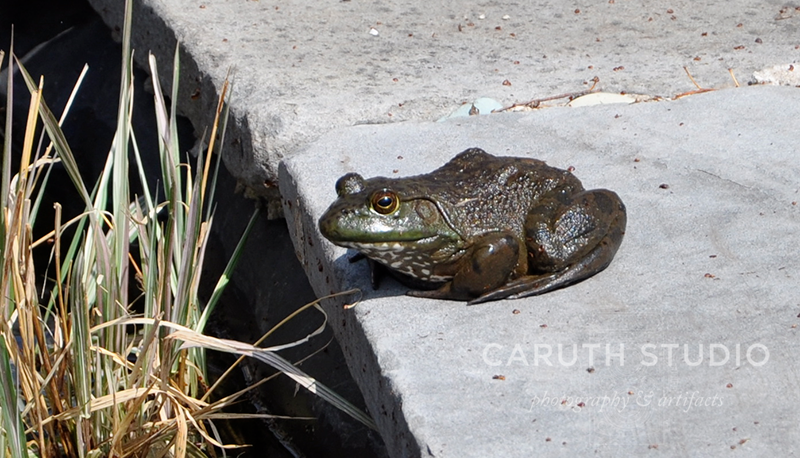 Frog visiting the pond