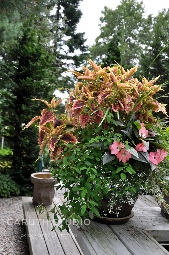 Planted container with coleus